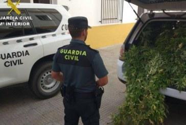 Trece detenidos y 3.500 plantas de marihuana intervenidas en una operación en Huelva