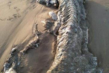 Una especie de tiburón de grandes dimensiones recala en una playa de Isla Cristina