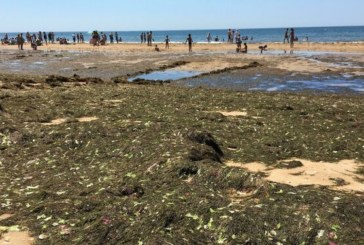 El alga asiática genera un millón de euros de pérdidas en Isla Cristina