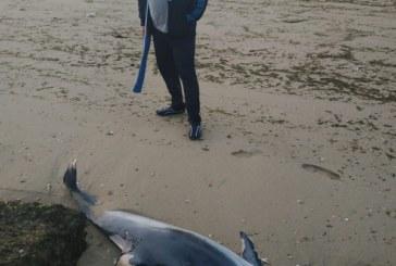 Aparece un delfín muerto en la playa La Gaviota de Isla Cristina