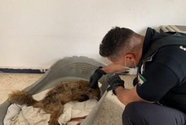 La Policía Local de Isla Cristina rescata a un zorro malherido