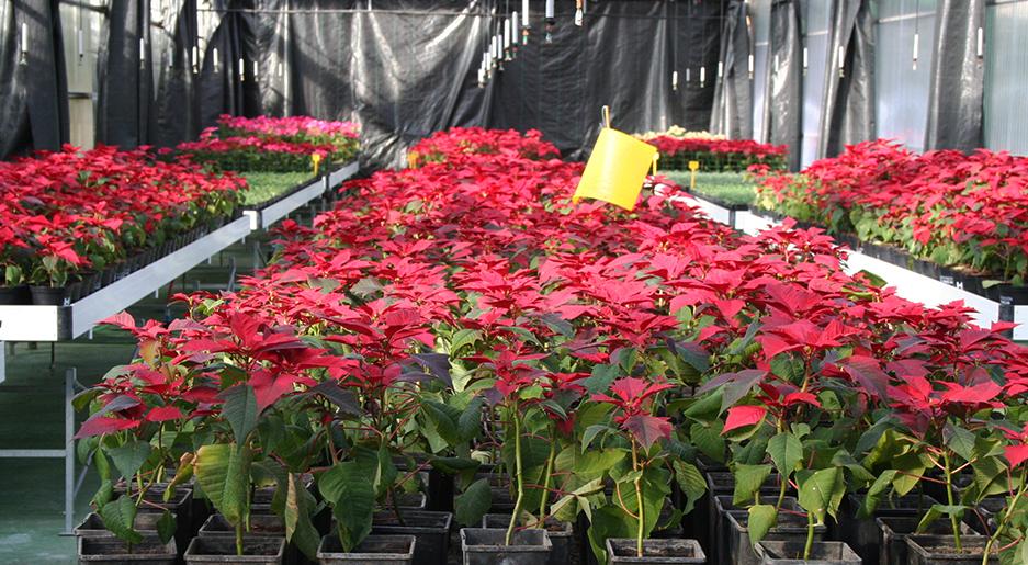 Tradicional campaña especial de flor de pascua dirigida a los municipios y ELA de la provincia