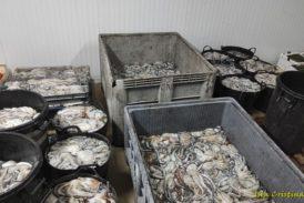 Inspección Pesquera incauta una tonelada de pulpo sin documentación en Isla Cristina