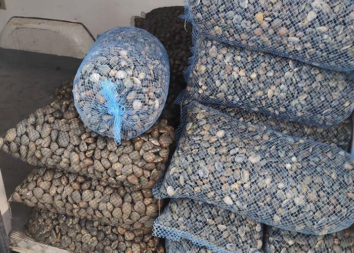 Agricultura.- Huelva.- Inspección Pesquera y Policía Autonómica se incautan en Isla Cristina más de una tonelada de almeja ilegal