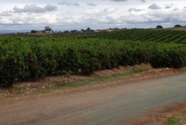 Nueva plaga insectos que afecta a cítricos y berries de la provincia