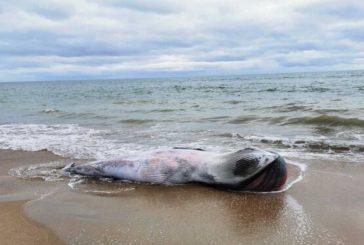 Hallan el cuerpo sin vida de una ballena de 5 metros varada en la orilla de una playa de Isla Cristina