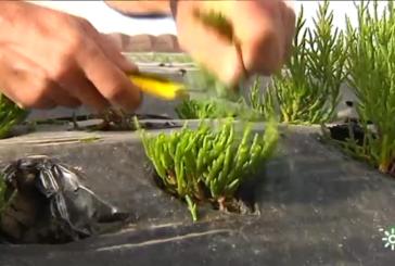 La salicornia de Isla Cristina conquista Portugal, Latinoamérica y los países del Este