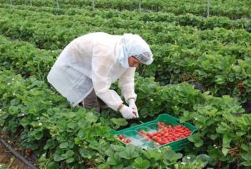 Arranca el proceso para traer a los trabajadores en origen de la fresa de Huelva
